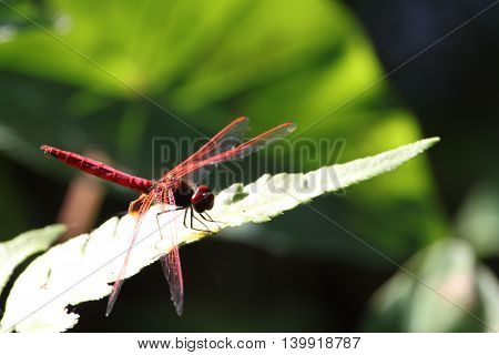 Pink Dragonfly on the leaf in the garden