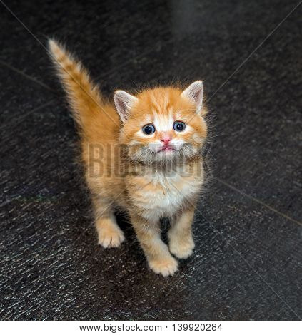 Cute little red kitten isolated on the black background top view