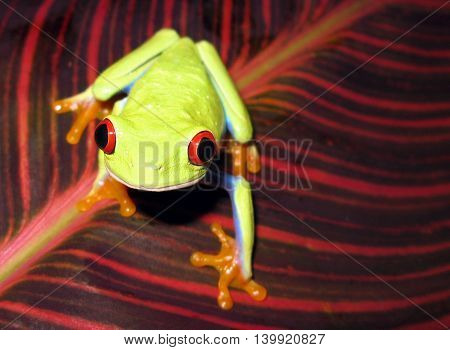 Red eyed tree frog on striped leaf facing the camera with bright red eyes.
