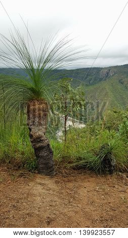 Xanthorrhoea or grass tree endemic to Australia