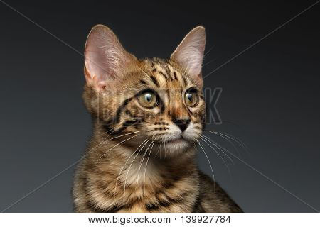 Closeup Portrait of Bengal male Kitty on Dark Background, Front view