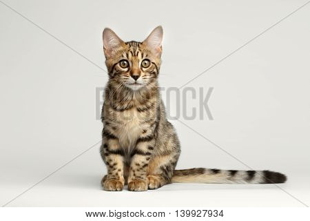 Bengal Kitty Sitting on White Background and Curious Stare in Camera