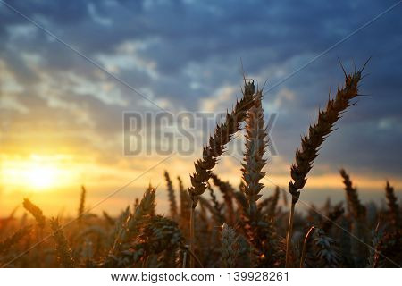 Wheat field in the sunset