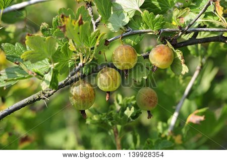 Gooseberry. The berries ripen on the branches of a bush gooseberry.