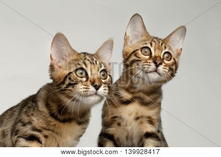 Closeup Portrait of Two Bengal Kitten on White Background, Front view, Curious Looking up