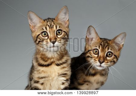 Closeup Portrait of Two Bengal Kitten on White Background, Front view, Curious Stare in Camera