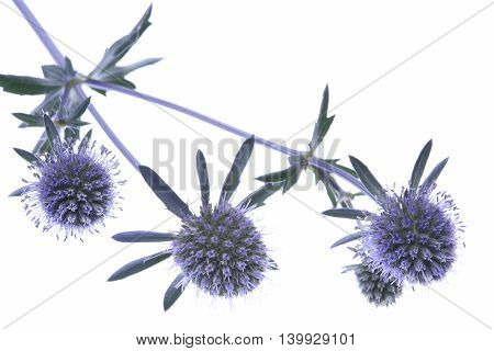 Twig of blue eryngium isolated on white background
