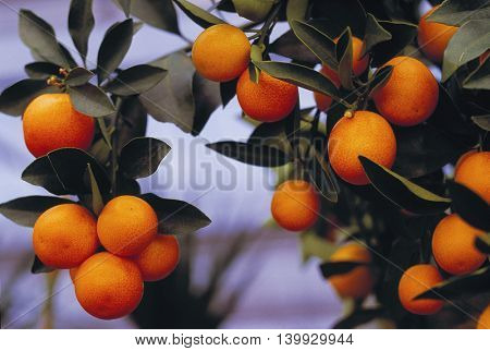 Oranges hanging on a tree branch