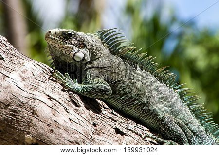 Green Iguana lizard, tropical creature, climbing palm tree in caribbean island of Guadeloupe.