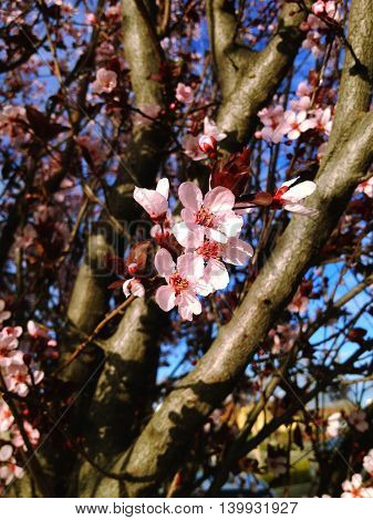 Fresh pink cherry blossom against a bright blue sky and spring