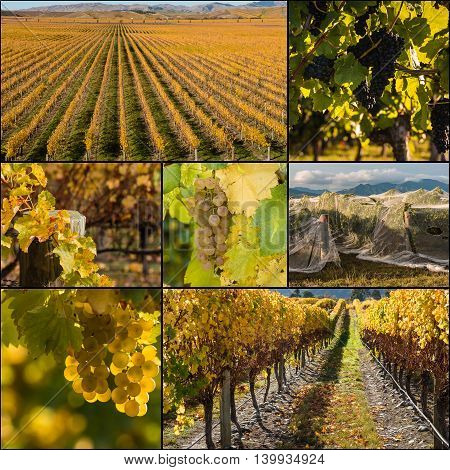 grapevine in vineyard at harvest time collage