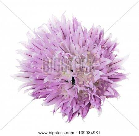 lilac garlic bloom isolated on white background