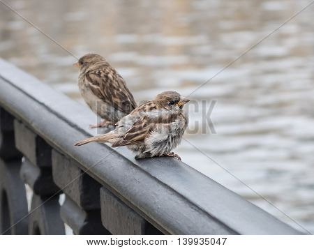The eyes of birds.  Gray sparrows sitting on the railing of the old city canal. Urban wild birds in the interior of civilization.