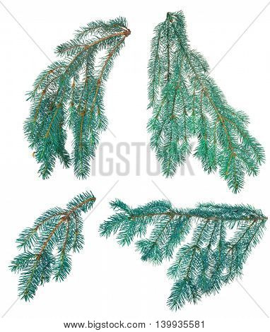 set blue fir branches isolated on white background