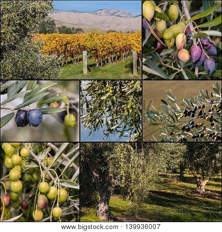 collage of olives ripening on olive tree