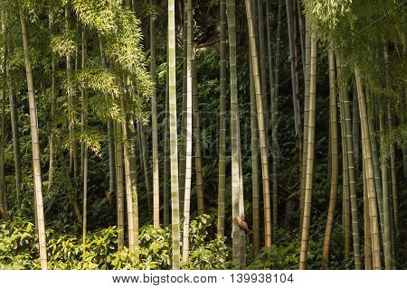 close up of giant bamboo stems growing in forest