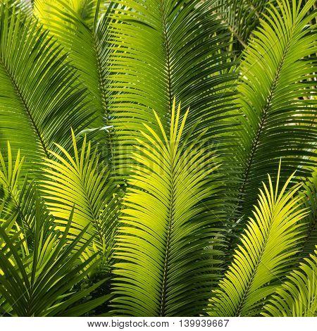 detail of fresh sunlit palm tree leaves