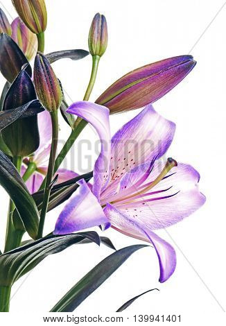 Beautiful lilies isolated on white