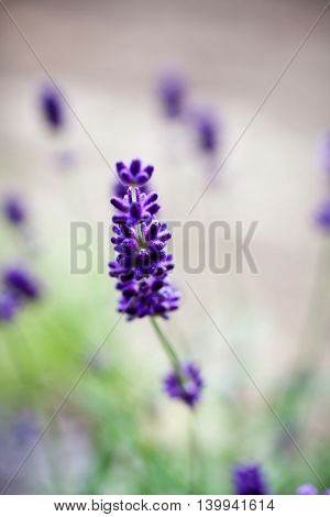 Fresh lavender blooming in summer
