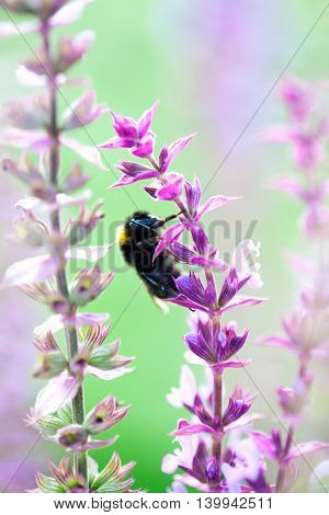 Fluffy bumlebee in purple flower