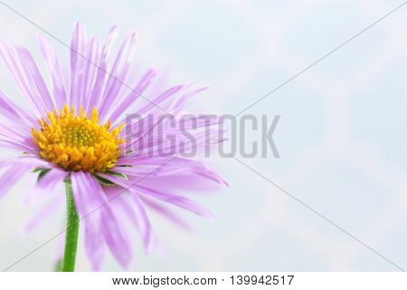 Beautiful violet daisy, close up