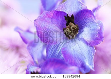 Beautiful blue delphinium flower, close up