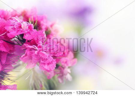 Beautiful pink carnation flowers, close up