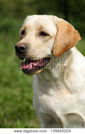 happy family dog the Labrador Retriever in the summer outdoors portrait closeup, fawn breed champion