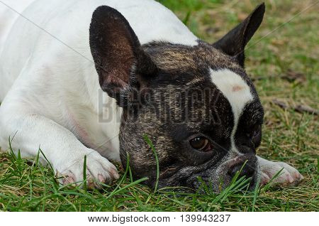 French bulldog walking on the street looking at me