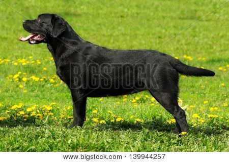 Beautiful black Labrador standing on the grass in full growth