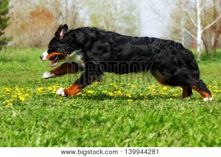 happy Beautiful Bernese mountain dog runs for fun in the summer outdoors