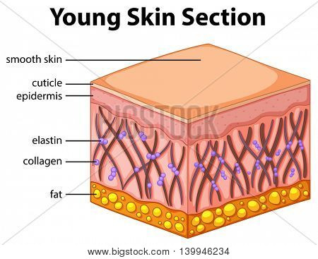 Diagram showing young skin section illustration