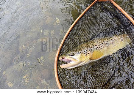 Upper view of brown trout recently caught