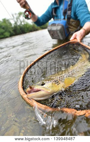 Closeup of brown trout being caught by flyfisherman