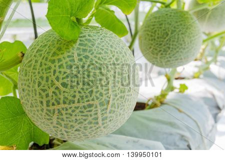 Cantaloupe melons growing in a greenhouse in Thailand