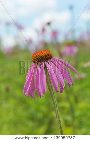 Medicinal plant and honey plant Echinacea purpurea closeup outdoors against a blue sky