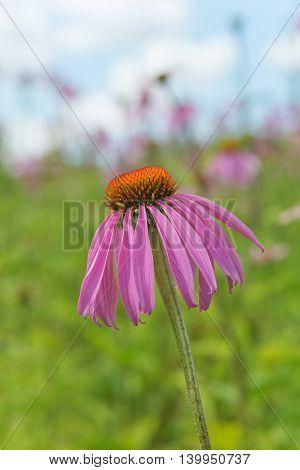 Medicinal plant and honey plant Echinacea purpurea closeup outdoors against a blue sky