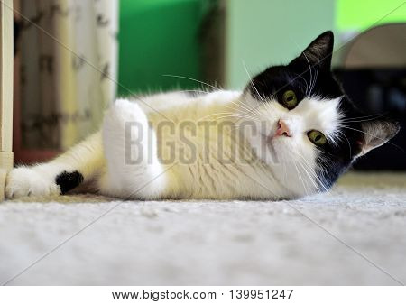 Portrait of tomcat lying on the carpet at home