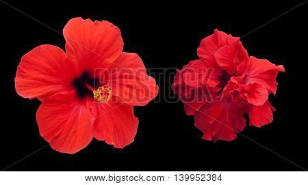 isolated black, Chinese flower red roses, two look, terry and ordinary