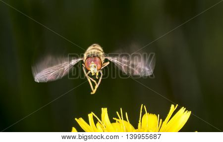 Marmalade Hoverfly Flying above Flower close up.