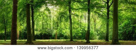 Fresh green trees in a beech forest with dreamy soft light panorama format