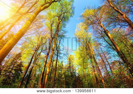 Forest scenery with the sun illuminating the colourful tall treetops and clear blue sky