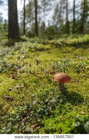 Mushroom boletus on the background of green moss and trees