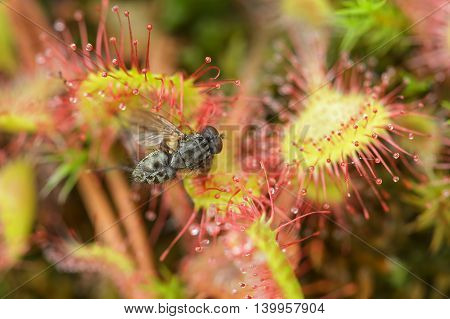 Prey Sundew Eating Caught Fly