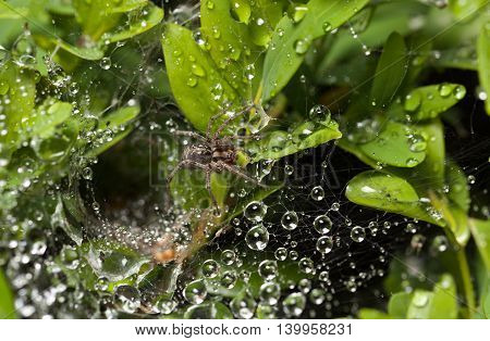 Spider And Raindrops On Web