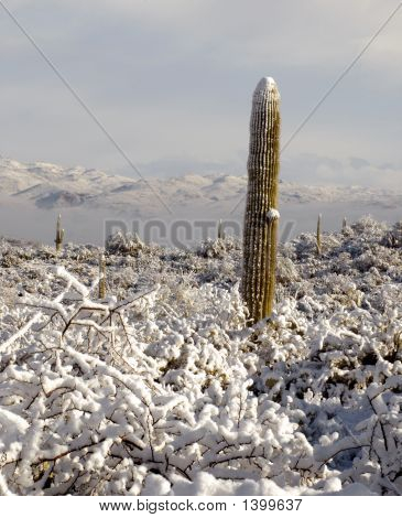 Young Saguaro In Snow