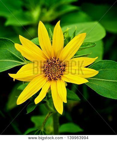 Beauty Fragile Small Sunflower on Blurred Green Leafs background Outdoors. Focus on Foreground