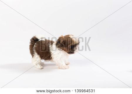 One funny shih-tzu puppy isolated on white background