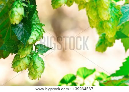 detail of hop cones in the hop fild place for text