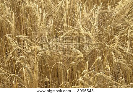 close up of a golden cornfields in detail gives a pattern